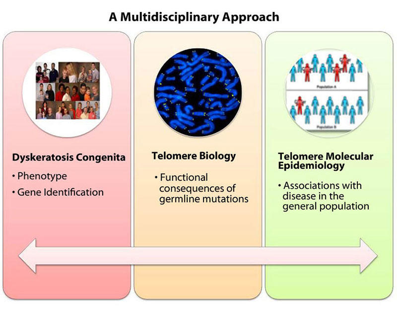 Multidisciplinary approach includes studying inherited telomere-related disorders such as dyskeratosis congenita, telomere biology and germline mutations, and telomere molecular epidemiology to understand cancer risk in the general population.