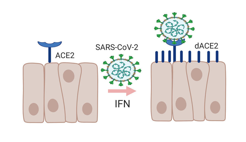 dACE2 is a new, shorter form of ACE2, the receptor SARS-CoV-2 uses to enter cells.